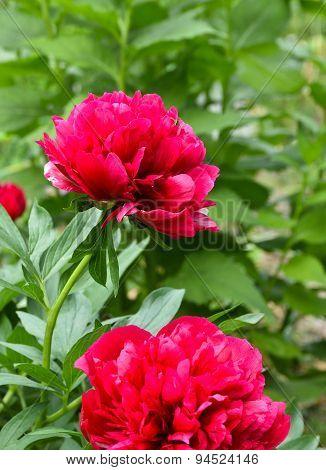 Red Peony Flowers.
