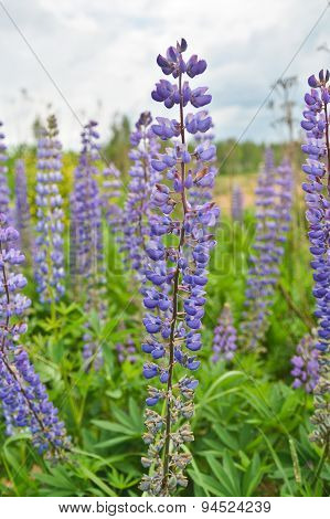 Blue Lupine Flowers.