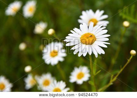White Chamomile Flowers.