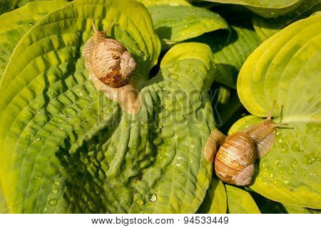 Garden Snail Moving Slowly Across A Dewy Hosta Leaf In The Spring