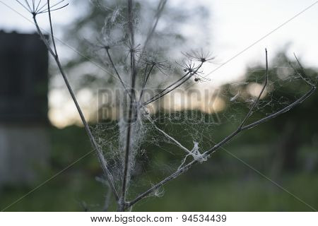 Spider weaves web on a flower on the background of sunset in the countryside