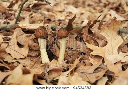 Close-up of Morel Mushrooms in the Wild