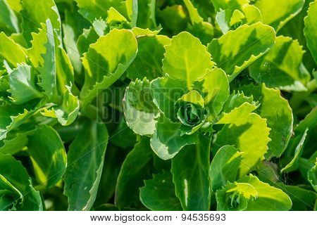 Close-up Of Green Cabbage