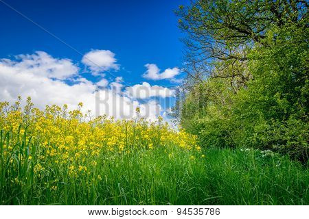 Canola On A Green Meadow