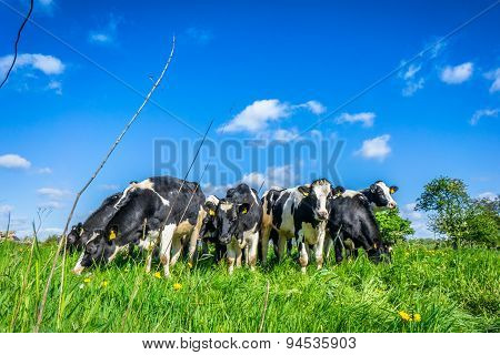 Cows In The Summertime