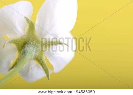 Apple Blossoms In Spring On White Background