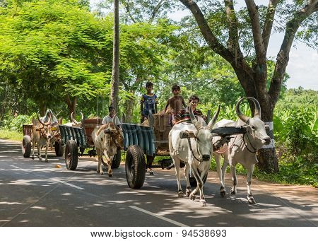Three Oxen Carts On The Road.