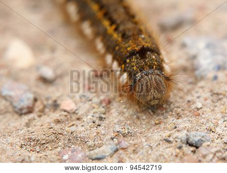Euthrix Potatoria Caterpillar From The Front