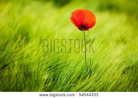 Red poppy in green field. South Moravia, Czech Republic