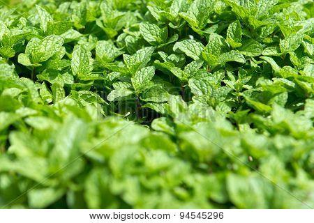 Mint Plantation