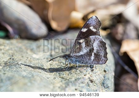White-spotted Beak Butterfly
