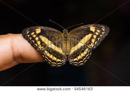 Little Banded Yeoman Butterfly