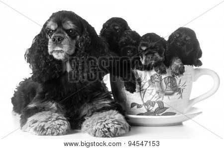 litter of puppies - american cocker spaniel mom and pups in a teacup on white background