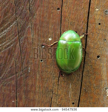 Metallic Wood-boring Beetle In Square Format