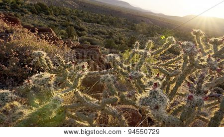 Warm Desert Sunrise And Chollas Cactus
