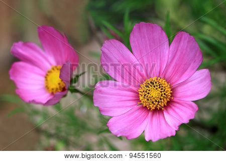 A delicate pink Cosmos flowers