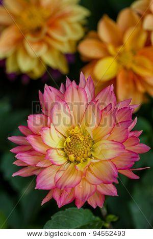 Closeup Dahlia Flower In Garden