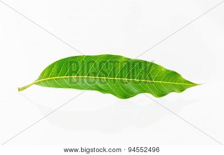A Mango Leaf On A White Background.