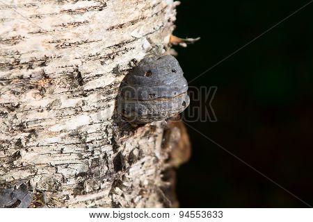 Chaga Mushroom On Birch In Mixed Forest.