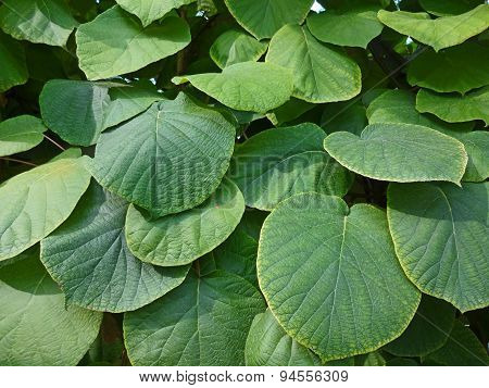 Thick, juicy green leaves