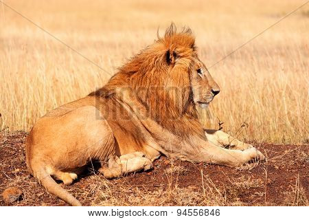 Male Lion In Masai Mara