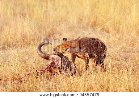 Hyena Eating A Pray, Masai Mara