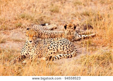 Cheetahs In Masai Mara