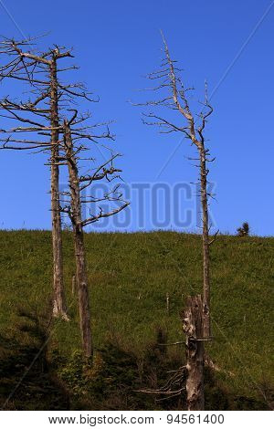Dry trunks of coniferous trees on blue sky background