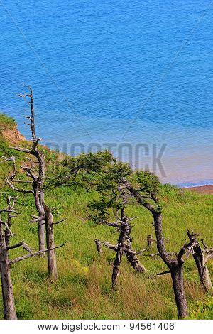 Curved pine trees on the beach on the island of Sakhalin
