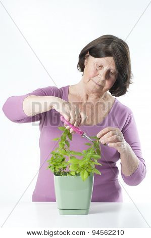 Elderly Woman Cuts Off Fresh Basil.