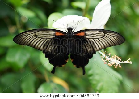 Great Mormon - Papilio Memnon