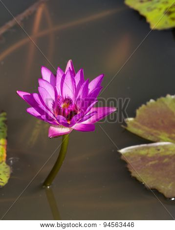 Big Purple Water Lily