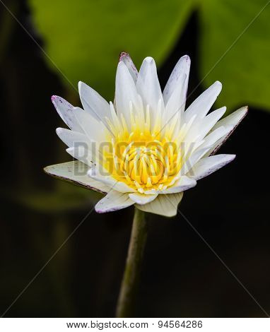 Big Water Lily In Lite Purple And White