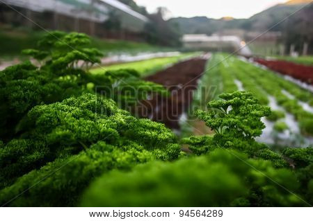 Healthy Vegetables Plant In The North Of Thailand (chiangmai)