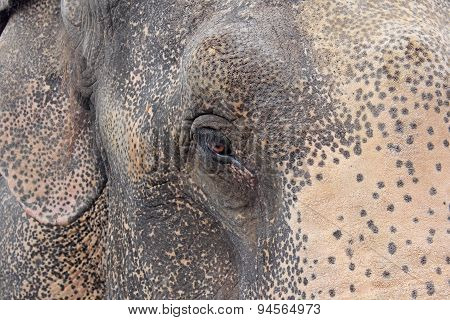 Head of the Indian elephant close-up