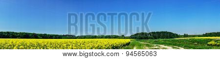 Beautiful Panorama Of Golden Rapefield And Blue Sky.