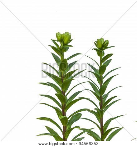 The Branch Of Lilies With Buds On A White Background Isolated