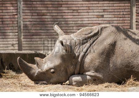 Lying black rhino in zoo