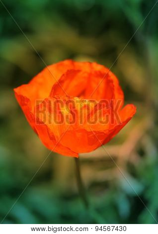 Beautiful Large Red Poppy