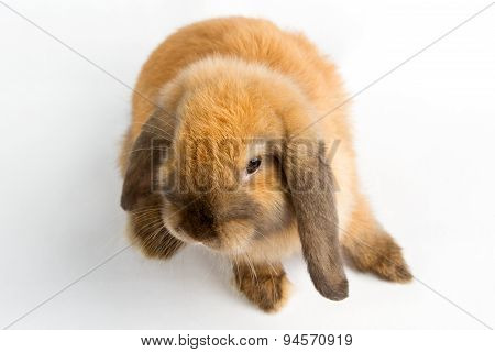 Orange Rabbit