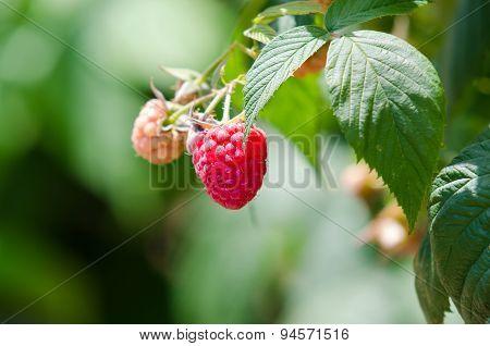 Raspberries. Growing Organic Berries Closeup. Ripe Raspberry In