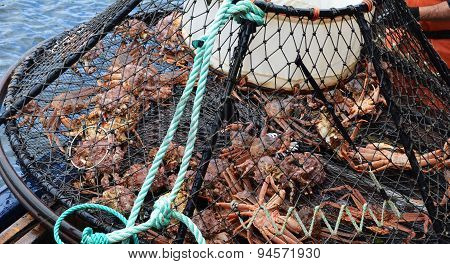 Crab Caught in Trap - Close Up Detail