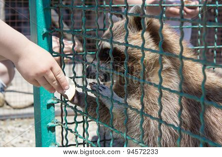 Raccoon From Hand To Feed