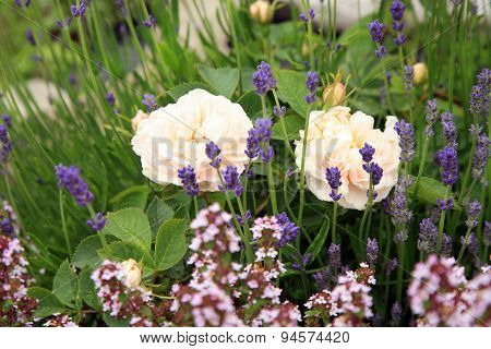 historic white rose with thyme and lavender