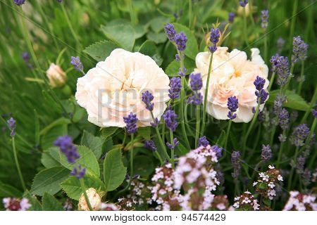 White rose with thyme and lavender