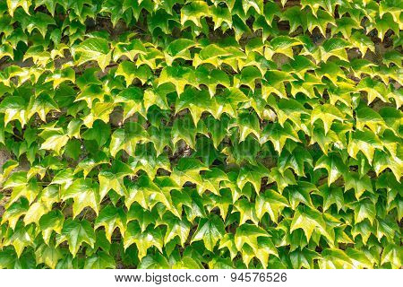 Wall of leafs.