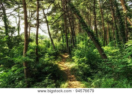 Small Trail In Pine Tree Forest