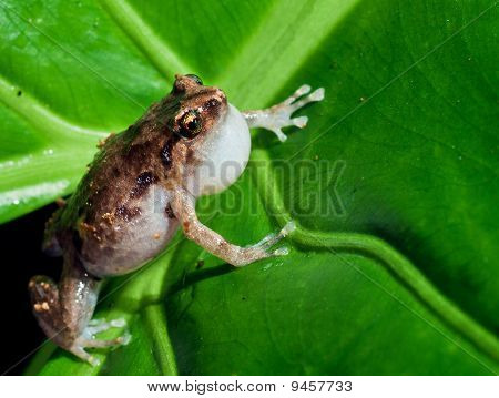 Macroshot Of The Tiny Common Nursery Frog, Cophixalus Ornatus