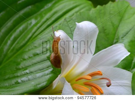 Little snail crawling on a white lily covered with dew