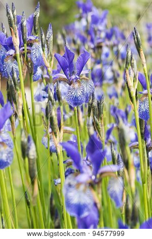 Flower Blue Iris